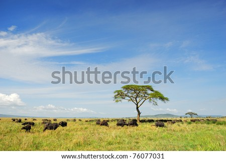African landscape with a solitary umbrella acacia tree and Cape race buffalo herd, Serengeti, Tanzania - stock photo