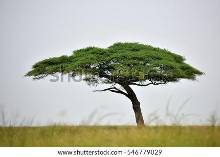 african landscape with acacia trees
