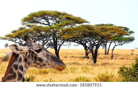 african landscape with acacia trees  and a giraffe passing by - stock photo