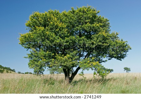 African landscape with an African Acacia tree (Acacia natalitia), South Africa - stock photo