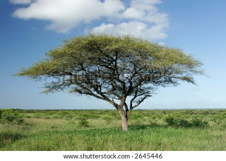 African landscape with an African Acacia tree (Acacia tortilis), Mkuze game reserve, South Africa	 - stock photo