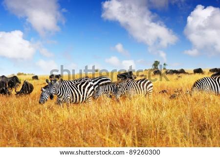 African landscape. Zebras herd and antelopes wildebeest in a high grass savannah, Masai Mara, Kenya - stock photo