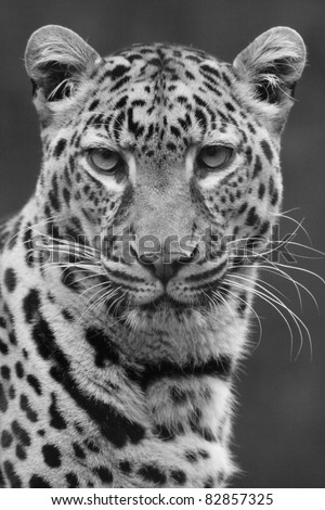 African Leopard - stock photo