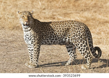 African Leopard / An African Leopard on the savannah in Kenya - stock photo