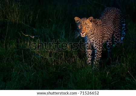 african leopard at dusk standing on green grass lighted with a spotlight in Sabi Sand nature reserve in South Africa - stock photo