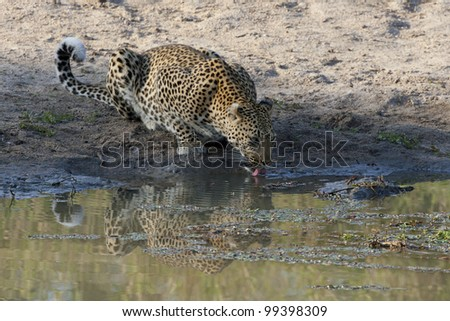 African Leopard drinking water, (Panthera pardus) South Africa