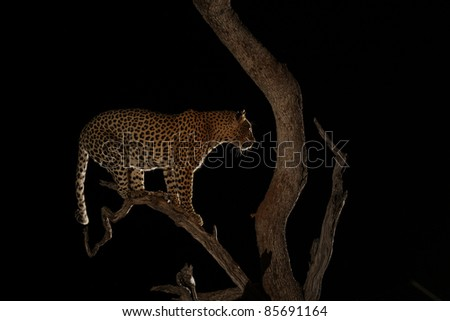 African Leopard in Tree at night using flash - stock photo