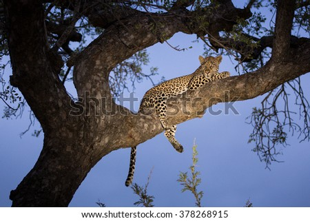 African Leopard in tree in the Kruger Park South Africa  - stock photo