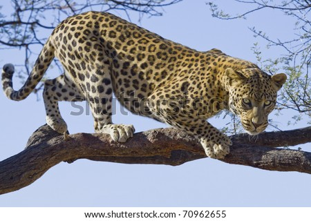 african leopard on tree - stock photo