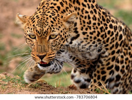 African Leopard (Panthera Pardus) in hunting mode, with front paw elevated and crouching down getting ready to pounce.  South Luangwa National Park, Zambia