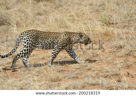 African Leopard (Panthera pardus) in the National Park - stock photo