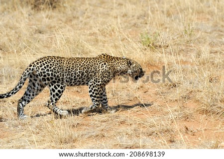 African Leopard (Panthera pardus) in the National Park