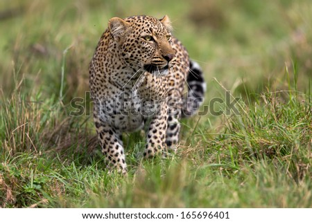 African Leopard (Panthera Pardus Pardus) female stalking in grass in Masai Mara, Kenya - stock photo