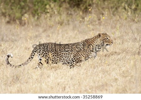 African leopard (Panthera Pardus Pardus)  stalking in savannah grass - stock photo