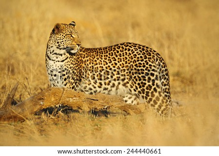 African Leopard, Panthera pardus shortidgei, Hwange National Park, Zimbabwe - stock photo