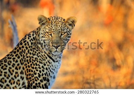 African Leopard, Panthera pardus shortidgei, Hwange National Park, Zimbabwe, portrait portrait eye to eye with nice orange backround - stock photo