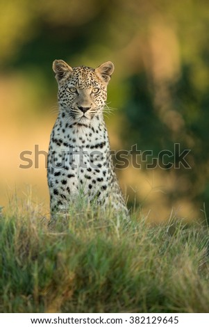 African Leopard sitting alert in Etosha National Park in Namibia