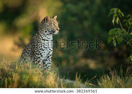 African Leopard sitting alert in Etosha National Park in Namibia - stock photo