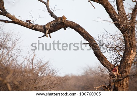 African leopard sleeping high in a tree - stock photo