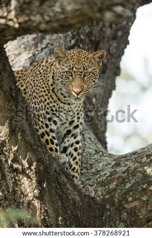 African leopard standing in tree in the Kruger Park South Africa - stock photo