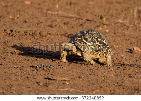 African Leopard Tortoise (Geochelone pardalis) walking in Kruger National Park