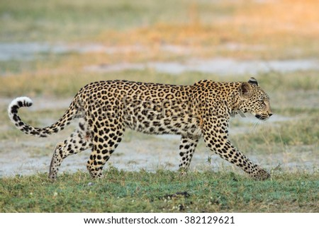 African Leopard walking in Etosha National Park in Namibia - stock photo