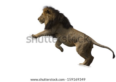 African lion against white background - stock photo