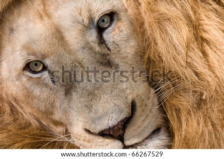 African Lion Close Up - stock photo