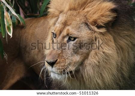 African Lion Closeup - stock photo