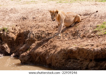 African lion contemplates crossing a river. - stock photo