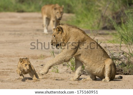 African Lion cub and mother in South Africa's Mala Mala Game Reserve - stock photo