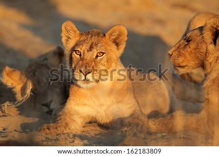 African lion cub (Panthera leo) in early morning light, Kalahari desert, South Africa  - stock photo