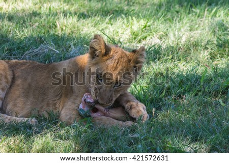 African Lion cub resting and eating a midday meal - stock photo