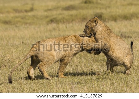 African lion cubs playing - stock photo