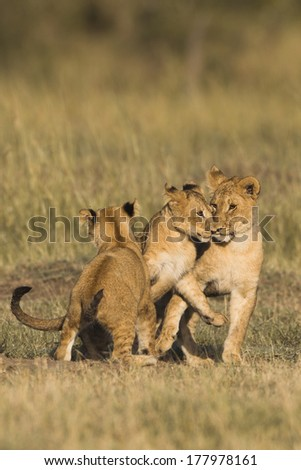 African Lion cubs playing in the Masai Mara National Reserve in Kenya. - stock photo