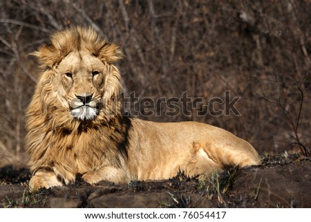 African Lion in burnt bushveld, starring at the camera