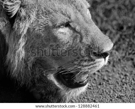 African lion in Crater Ngorongoro National Park - Tanzania (black and white)