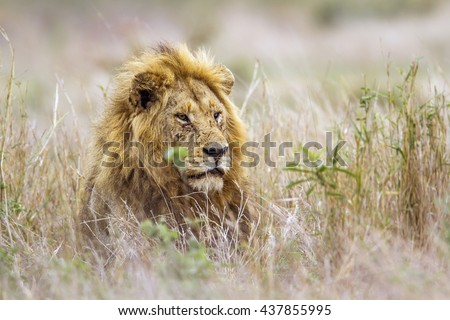 African lion in Kruger national park, South Africa ; Specie Panthera leo family of felidae - stock photo