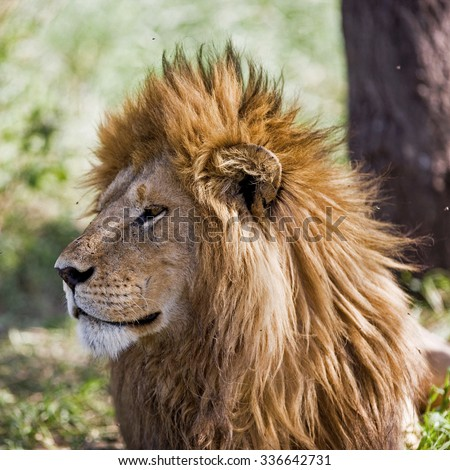 African lion in the Serengeti National Park, Tanzania - stock photo