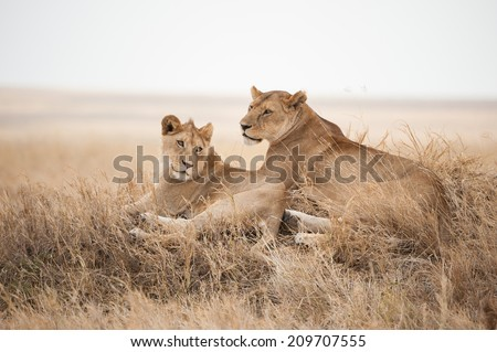 African lion in the wild - stock photo