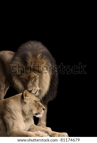 African Lion, King of the Jungle, having a tender moment with his lioness mate.  Strong males can be gentle when called for, and most females call for them to be so!  A great stationary / background. - stock photo