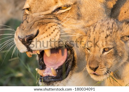 African Lion Mother and Cub close up - stock photo