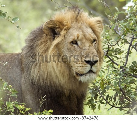 African Lion (Panthera leo) in the Kruger National Park, South Africa. - stock photo