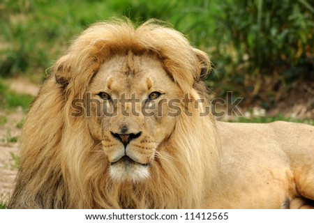 African lion (Panthera leo kruger) male is looking straight at the camera - landscape orientation. - stock photo