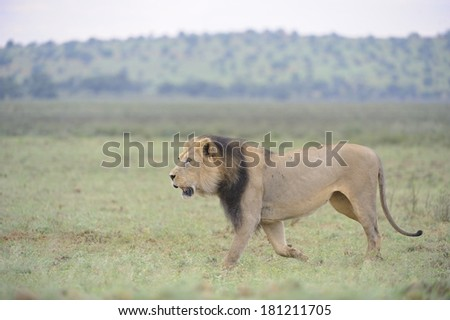 African Lion (Panthera leo). Magnificent black maned pride male patrols his territory in the Kgalagadi Transfrontier Park with intent,, Kalahari desert, northern Cape, South Africa  - stock photo