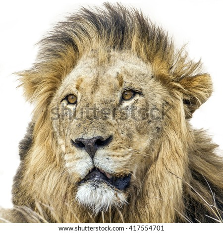 African lion portrait isolated in white background ; Specie Panthera leo family of felidae