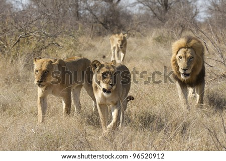 African Lion Pride (Panthera leo) walking through bush, South Africa. Male and females