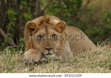 African Lion Resting / An African lion resting near bushes - stock photo