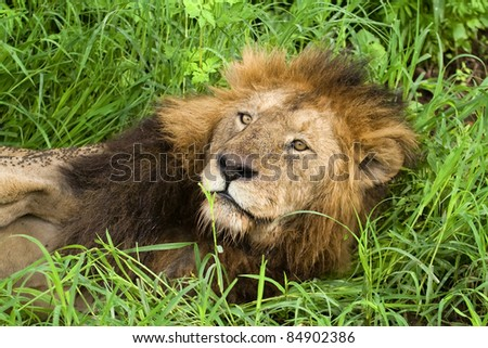 African lion resting in the grass, Serengeti, Tanzania