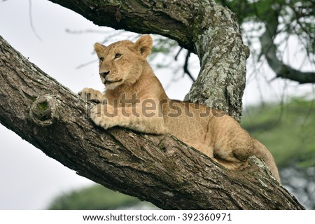 African lion resting  in tree in natural park, Serengeti - stock photo